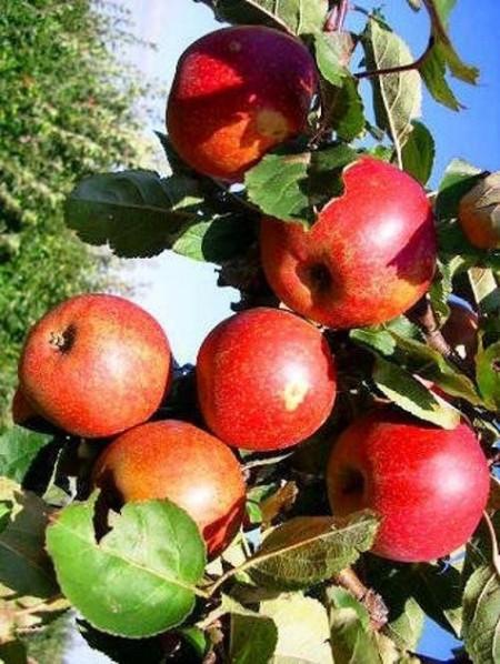 Poze Măr Red-Boskoop