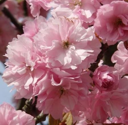 Poze Cireș japonez Kanzan (Prunus serrulata Kanzan)