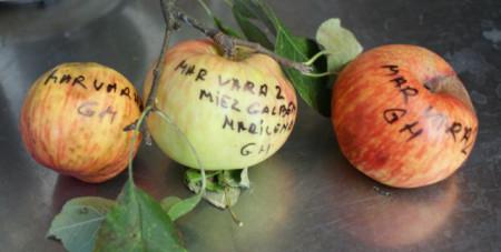 Poze Măr de vară 2 Marilena