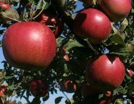 Poze Măr Jonathan