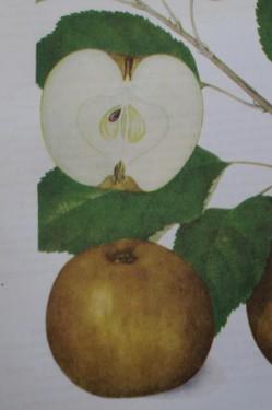 Poze Măr Renet cenușiu (Cormoș cenușiu)