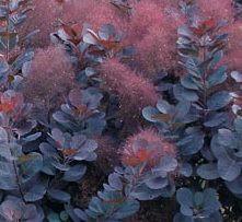 Poze Scumpie Royal Purple (Cotinus coggygria)