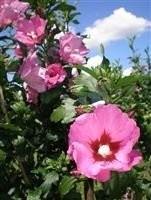 Poze Trandafir chinezesc Pink Giant (Hibiscus syriacus)