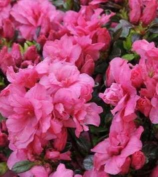 Poze Azalee japoneză (rododendron) Rokoko