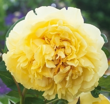 Poze Bujor Yellow Crown