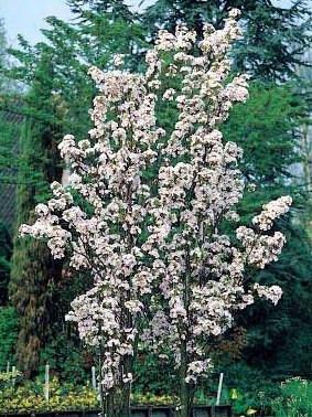 Poze Cireș japonez Amanogawa (Prunus serrulata Amanogawa)