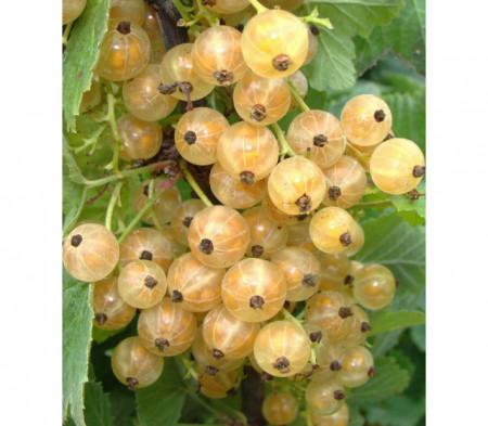 Poze Coacăz alb Blanka (Ribes niveum Blanka)