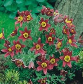Poze Floarea paștelui roșie (Pulsatilla)