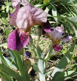 Poze Iris germanica 19
