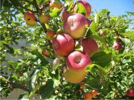 Poze Măr Parmen auriu