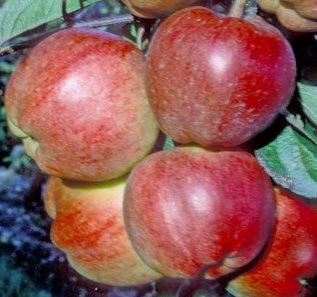 Poze Măr Priscilla