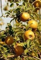Poze Măr Queen Renet (Renet galben)