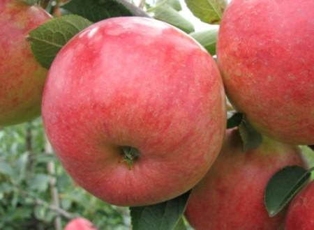 Poze Măr Rebella