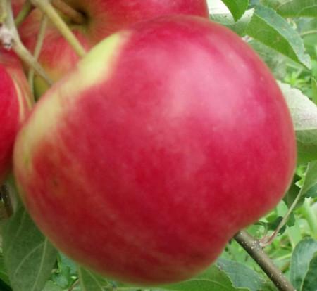Poze Măr Red Melba