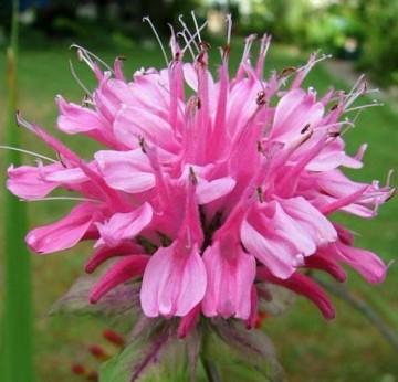 Poze Monarda Pink Lace