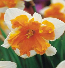 Poze Narcisa Orangery (set 3 buc.)