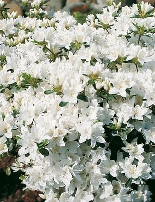 Poze Azalee japoneză (rododendron) Kermesina Alba