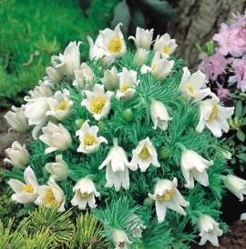 Poze Floarea paștelui albă (Pulsatilla)