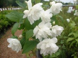 Poze Iasomie cu flori duble (Philadelphus Virginal)