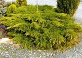 Poze Ienupăr Galben (Juniperus Chinensis Kuriwao Gold)