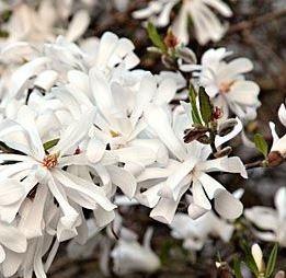 Poze Magnolie Waterlily
