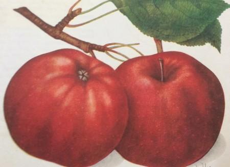 Poze Măr Calvil roșu de toamnă