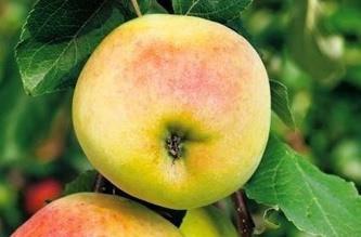 Poze Măr Croncels (Măr de sticlă)