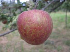 Poze Măr Gustav durabil
