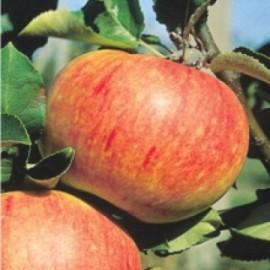 Poze Măr James Grieve