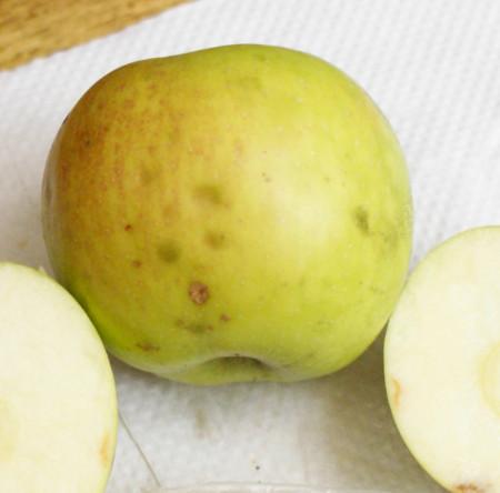 Poze Măr Pătul roz de Rengheț