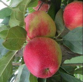 Poze Măr Prima