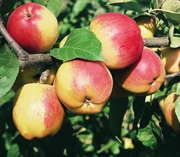 Poze Măr Reglindis