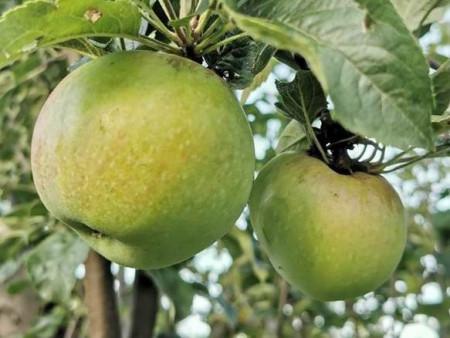 Poze Măr Țigănesc