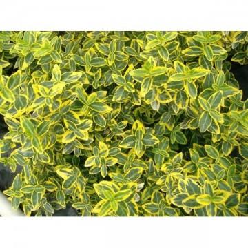 Poze Salbă mare Emerald Gold (Euonymus fortunei)