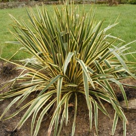 Poze Yucca variegata