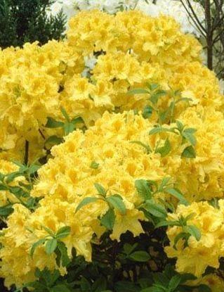 Poze Azalee (rhododendron) Anneke