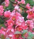 Poze Gutui japonez Pink Lady (Chaenomeles ×superba Pink Lady)