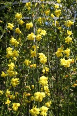 Poze Iasomie de iarna (Jasminum nudiflorum)