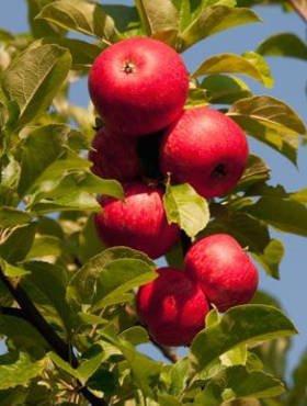 Poze Măr Bohemia