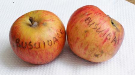Poze Măr Busuioace