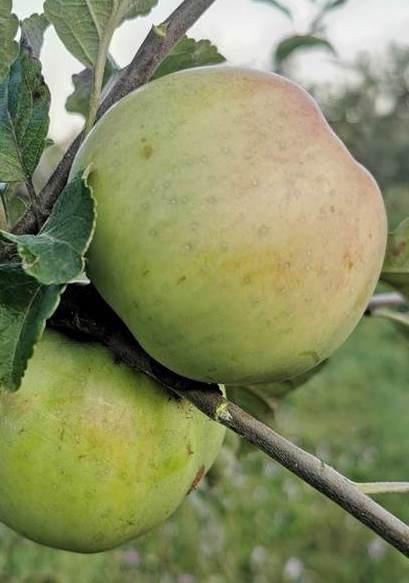 Poze Măr Citron