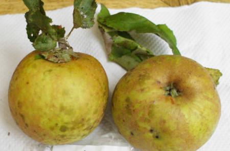 Poze Măr Cormoș de Rengheț