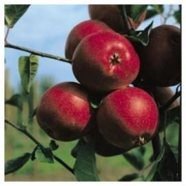 Poze Măr Summerred