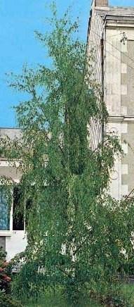 Poze Mesteacăn cu frunza îngustă (Betula pendula Laciniata)