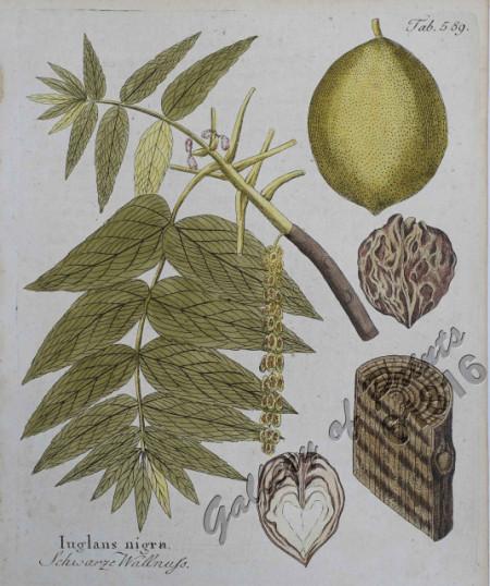 Poze Nuc american (negru) - Juglans nigra