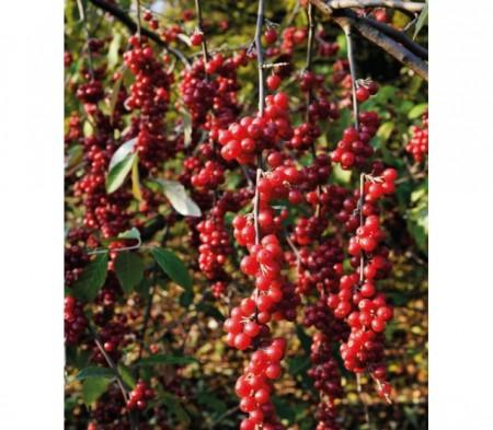 Poze Schisandra Sadova No1 (Schisandra chinensis Sadova No1)