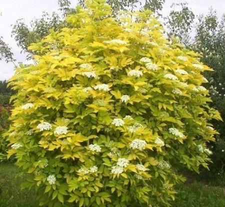 Poze Soc Aurea (Sambucus nigra Aurea)