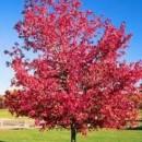 Artar roșu (Acer rubrum)