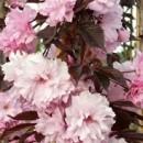 Cireș japonez Royal Burgundy (Prunus serrulata Royal Burgundy)