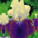 Iris Germanica Burgemeister